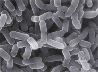Lactobacilli